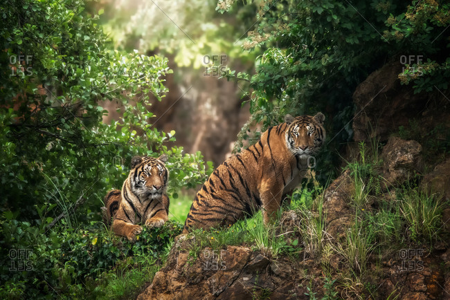 Huge tiger lying on grass near predator friend in colorful jungle near trees with small leaves in sunlight