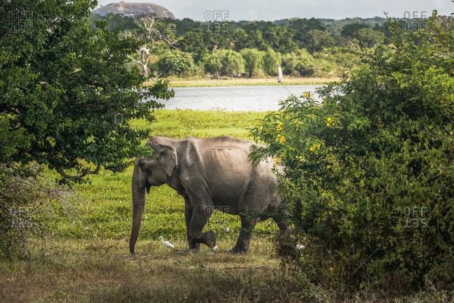 Gray elephant in natural habitat walking on meadow of green shore of river in Sri Lanka