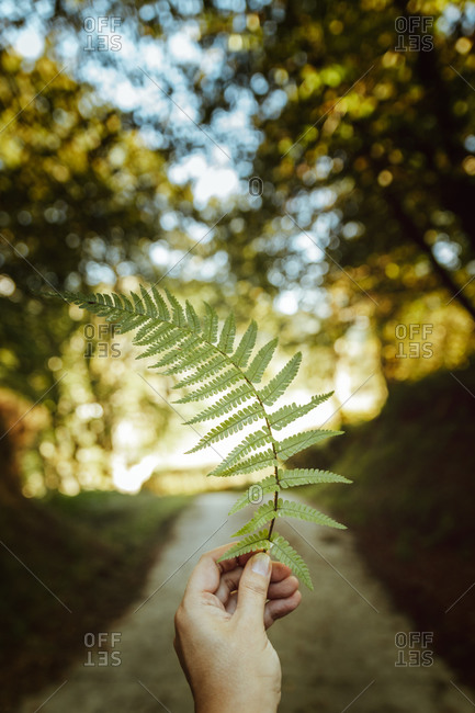 Crop anonymous person showing large green fern leaf with spiky leaves in forest