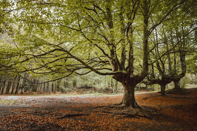 Old thick tree trunk with brown branches and small green leaves in garden in afternoon in autumn