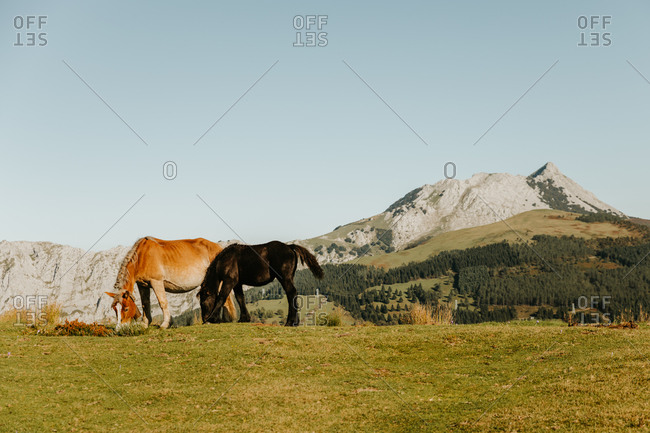 Brown and black stallions grazing in green pasture near trees on hillside and mount in afternoon in natural park