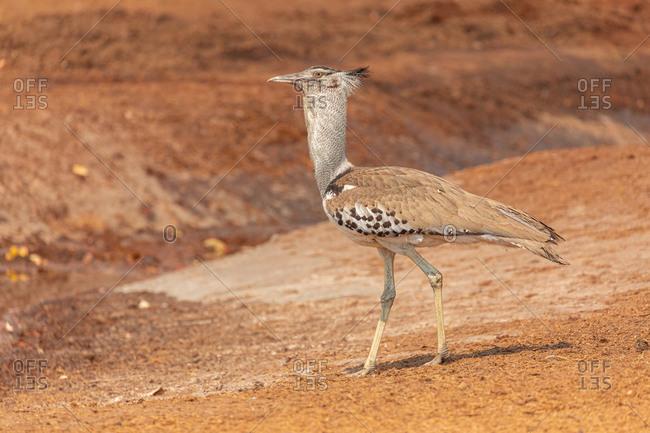 Full length of long legged Avutarda Kori or Kori bustard bird native to Africa standing on dry land in Savuti area in Botswana