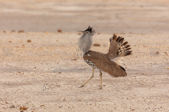 Avutarda Kori or Kori bustard bird native to Africa standing on dry land in Savuti area in Botswana with feathers spread