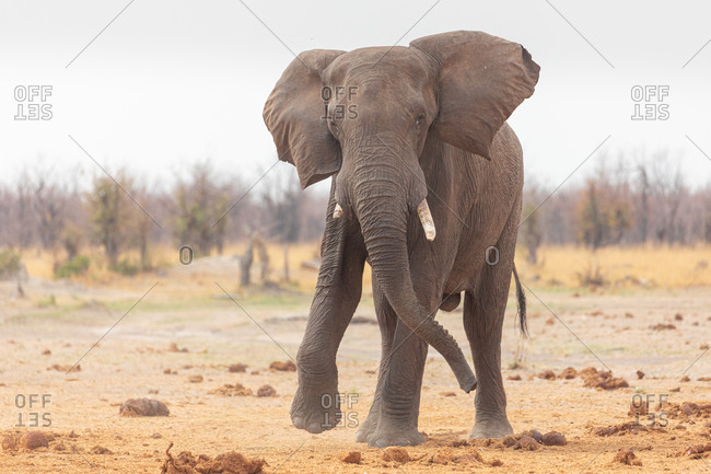 Front view of alone elephant on sandy ground near dry plants in Savuti area in Botswana