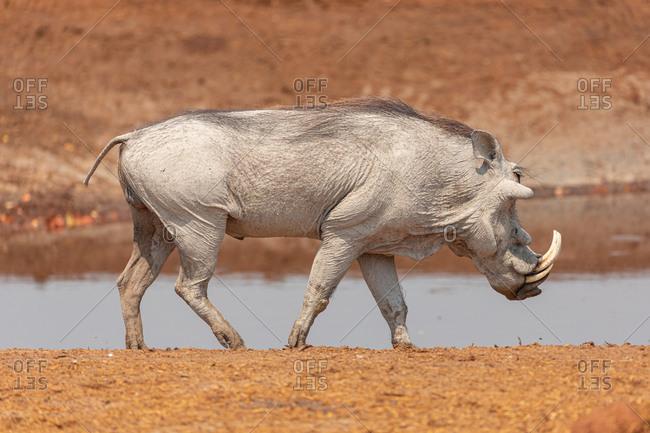 Full length of wild common warthog standing near small pond in Savuti area in Botswana