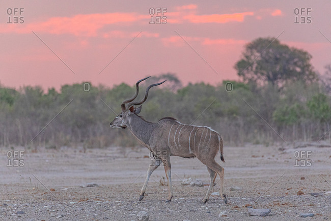 Full length of wild greater kudu animal standing on ground against dry vegetation in Savuti in Africa