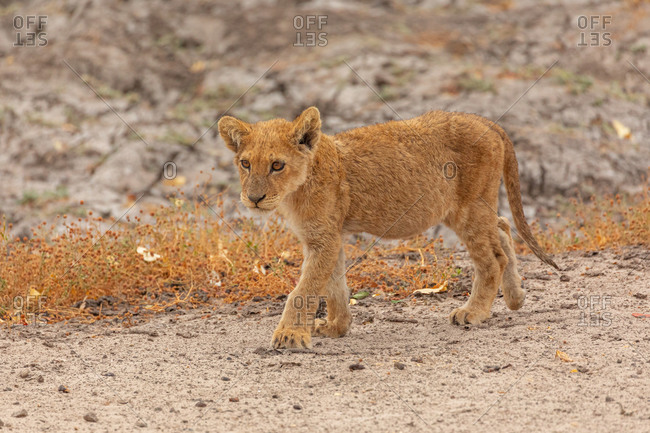 Full length of little wild lion cub walking in Savuti area in Southern Africa