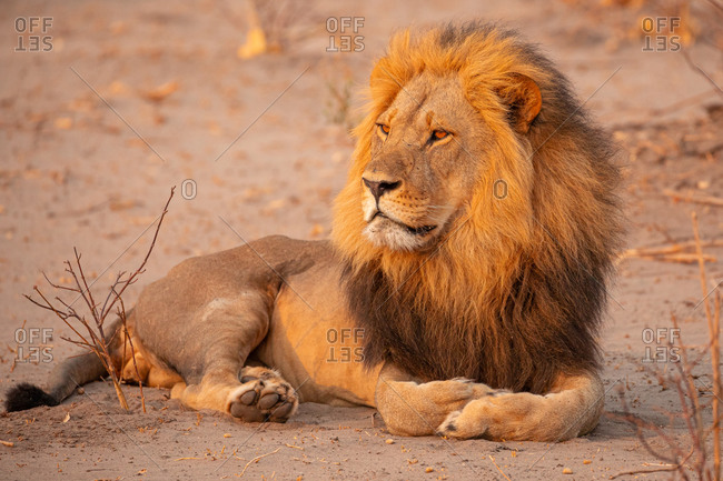 Full body of magnificent wild lion lying on dry ground and looking away in Savuti area in Botswana