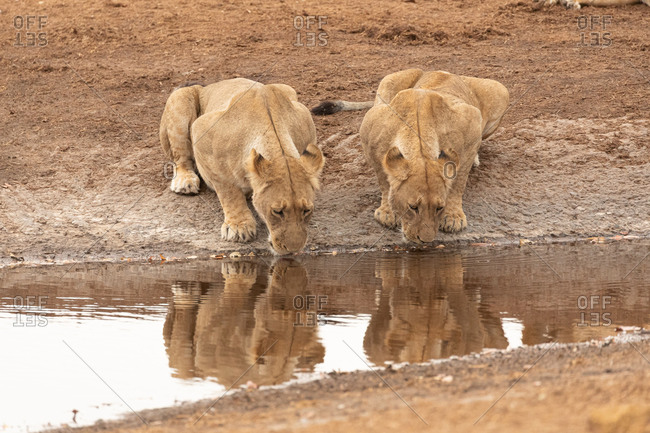 Group of wild lionesses drinking water from pond in savanna in Savuti in Botswana