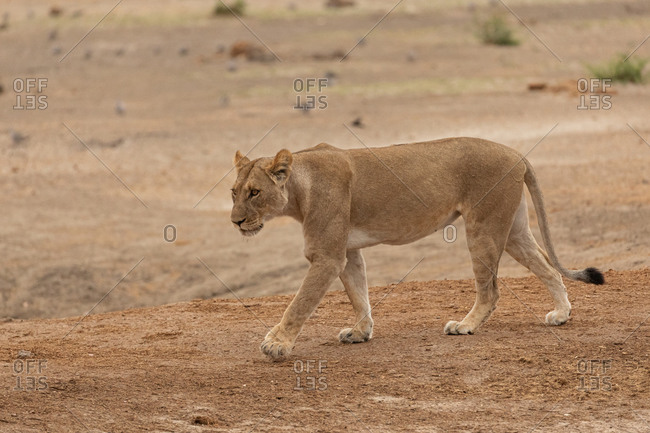 Full body of magnificent wild lioness walking on dry ground and looking away in Savuti area in Botswana