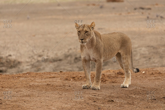 Full body of magnificent wild lioness standing on dry ground and looking away in Savuti area in Botswana