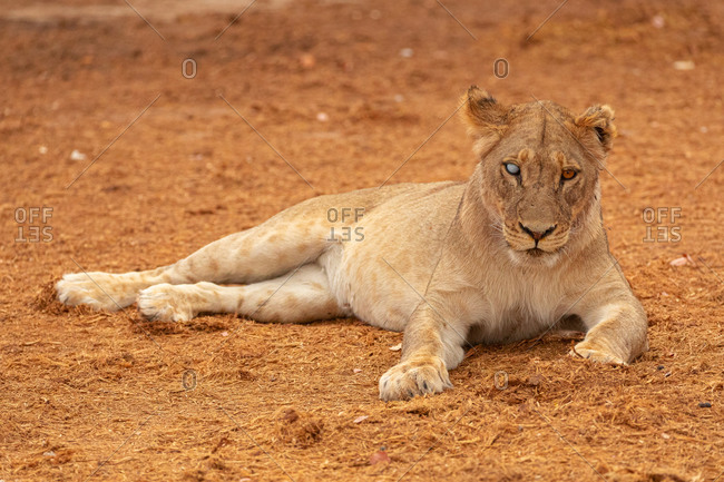 Full body of magnificent wild lioness lying on dry ground and looking at camera in Savuti area in Botswana