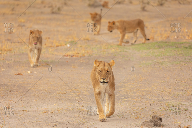 Full length of wild lionesses walking on dry ground in African savanna in Savuti area in Botswana