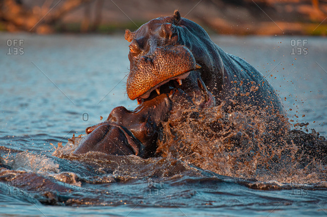 Closeup of wild aggressive hippos fighting heavily in water of Chobe river in Botswana in Africa