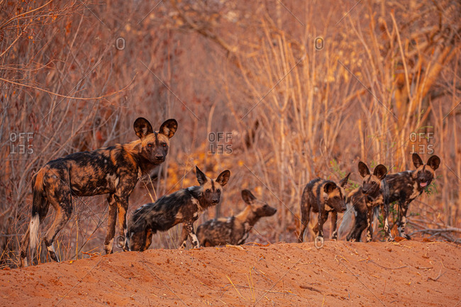 Front view of African wild dogs gathering on dry sandy ground in Savuti area in Botswana
