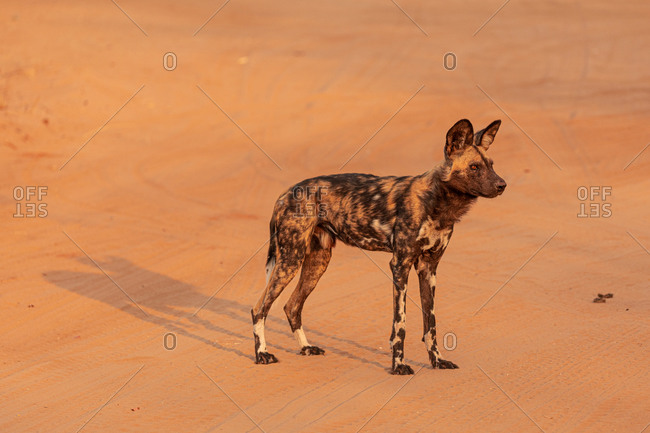High angle full length of African wild dog on dry sandy ground in the Savuti area in Botswana
