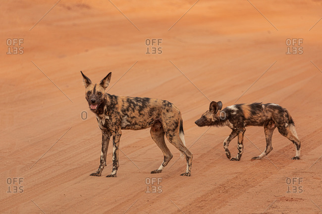 Side view full length of African wild dogs on dry sandy ground in Savuti area in Botswana
