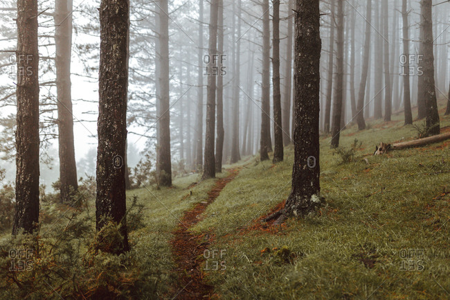 Gloomy scenery of narrow path surrounded by tall evergreen trees growing in misty wood