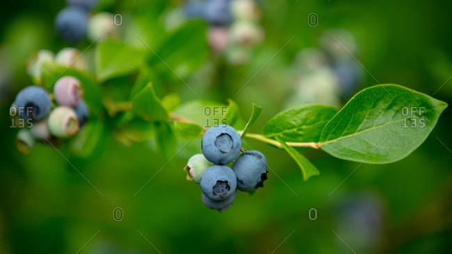 Closeup view on blueberries on branch in a garden.