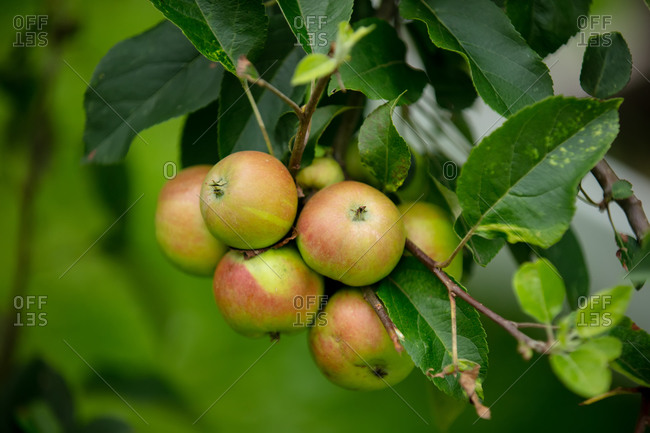 Natural ECO apples on green branch on a farm.