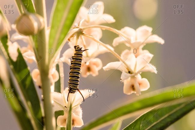 A monarch caterpillar climbing on a plant