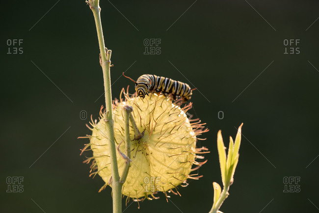 A monarch caterpillar on a swan plant