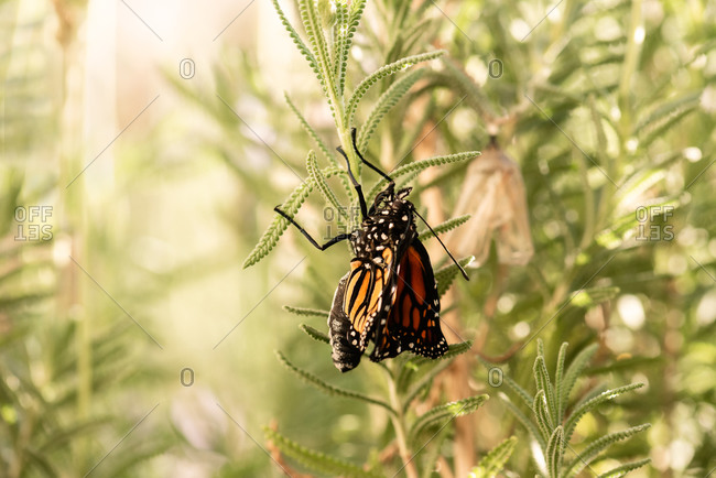 Monarch butterfly right after it emerged from it's chrysalis