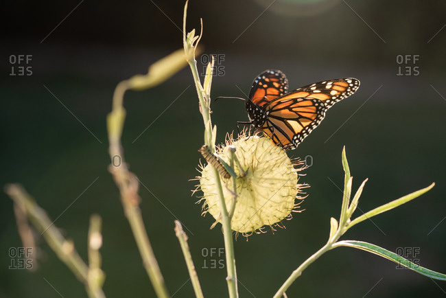 A monarch butterfly and caterpillar on a balloon plant