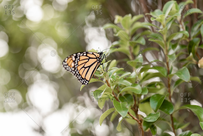 A monarch butterfly on a green leafy plant