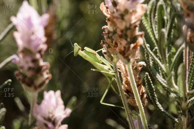 A praying mantis hanging out on a lavender plant