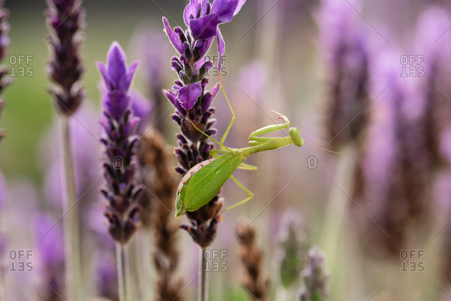 Close up of a praying mantis on a vibrant lavender plant