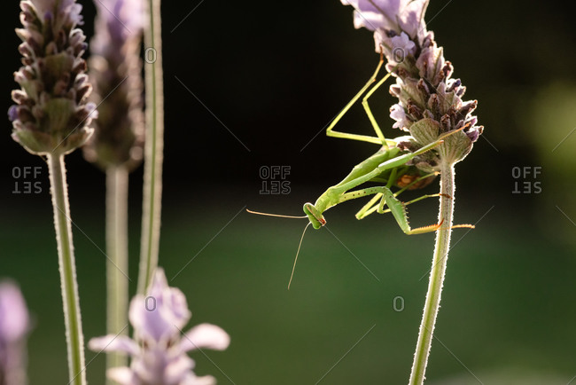 A praying mantis on a lavender plant