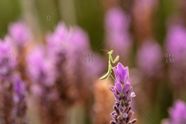 Praying mantis on a vibrant lavender plant