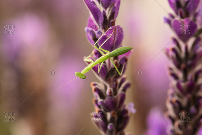Close up of a praying mantis hanging out on a vibrant lavender plant