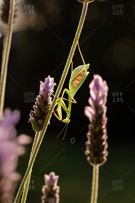 Close up of a praying mantis on a lavender plant in a garden