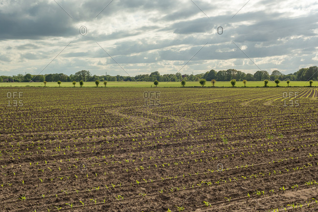 Young crop growing in rural farmland under cloudy sky