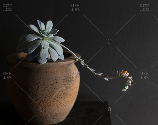 Succulent growing flower blossom indoors