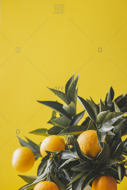 Orange tree branches bouquet with orange fruits on yellow background.