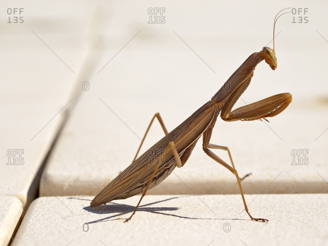 Macro shot of posed mantis