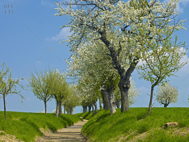 Hiking trail with cherry blossom, Leipzig district, Saxony, Germany,