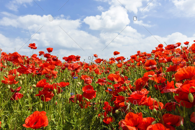 Poppy field, corn poppy (Papaver rhoeas), blossoms, Baltic Sea, Ahrenshoop, Darss, Mecklenburg-West Pomerania, Germany