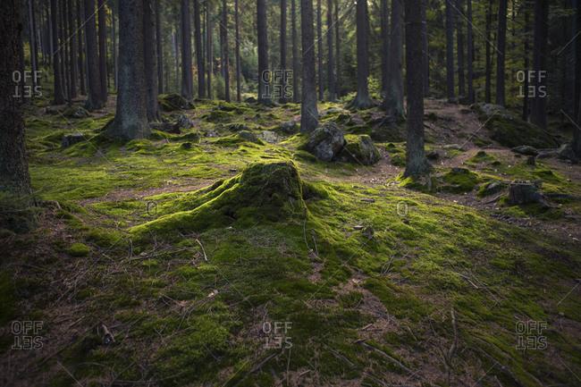 Moss-covered tree stump, Bavarian Forest, Bavaria, Germany