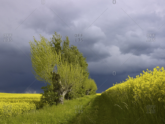 Rape fields with pollard willows with storm clouds, Altenburger Land, Thuringia, Germany, Europe