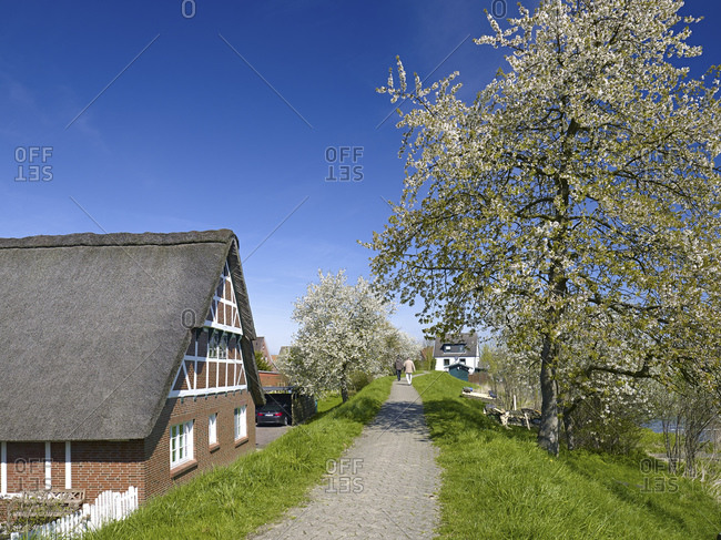 April 12, 2014: Dike in Steinkirchen with cherry blossom, Altes Land, Landkreis Stade, Lower Saxony, Germany, Europe