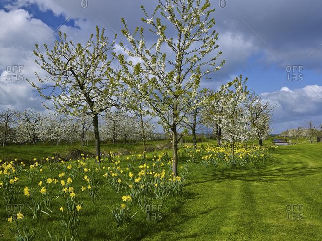 Fruit growing garden in Steinkirchen, Altes Land, Landkreis Stade, Lower Saxony, Germany, Europe