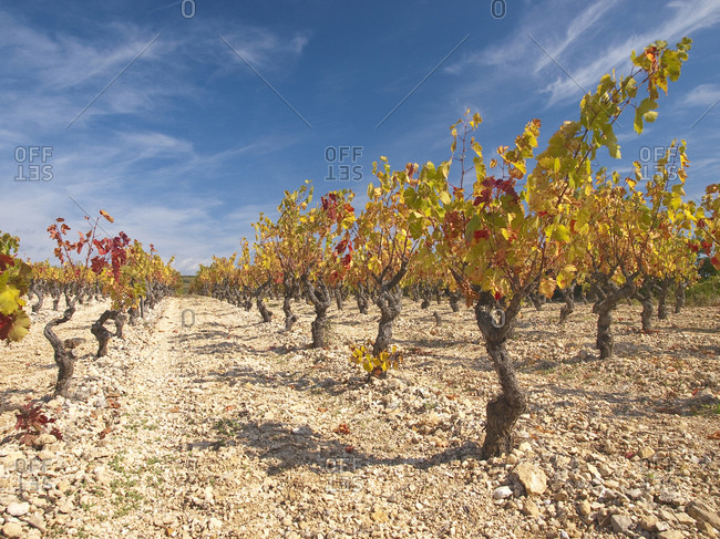 Grapevines at Minerve, Languedoc-Roussillon, South of France, France, Europe