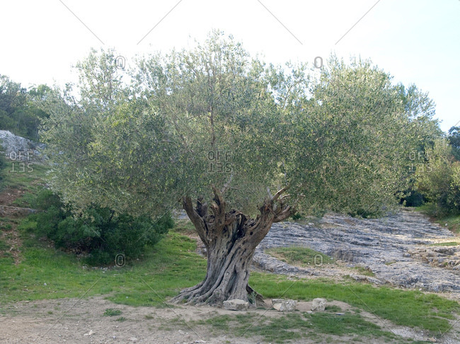 Olive tree, 1100 years old, southern France, France, Europe