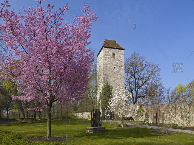 April 2, 2014: Arboretum with north tower of the city wall and mountain cherry in Bad Langensalza, Thuringia, Germany, Europe