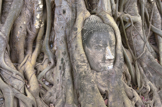Head of a Buddha statue between roots of a strangler fig, Wat Mahathat Temple in the ancient royal city of Ayutthaya, Thailand