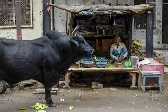 March 1, 2014: Cow and shopkeeper, Varanasi, India